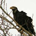 Bald Eagle Juvenile watching shoreline