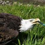 Bald Eagle playing with garden hose