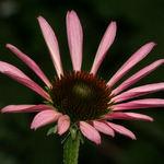 Echinacea, newly opened