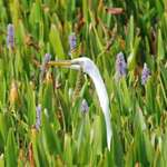 Hiding Egret