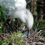 Egret with Eggs