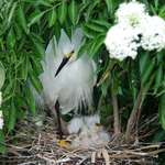 Mother Egret with Chicks