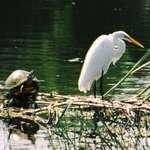 Egret & Turtle