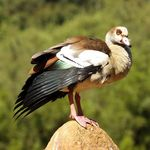 Egyptian Goose on gaurd duty