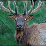 Elk #21