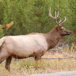 Elk by the Road