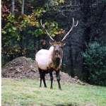 Benezette Elk