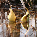 Emerging Skunk Cabbage Flowers