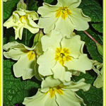 English Primroses