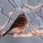 Evening Field Sparrow