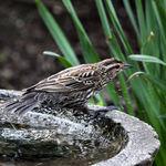 Exiting the bath, female Redwing Blackbird
