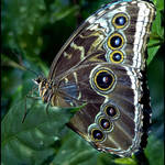 Eyespot Butterfly
