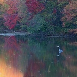 Blue Heron Autumn