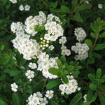 Fated Snowmound Spirea