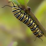 Feeding caterpillar