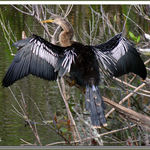 Female Anhinga