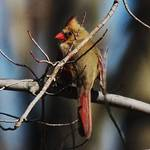Female Cardinal on Watch