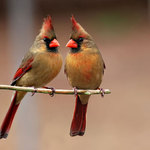 Female Cardinals