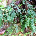 Bush Maiden Hair Fern