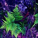 Fern in blue and Purple