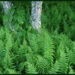 Ferns
