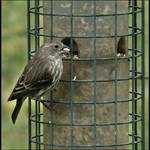 Finch at Feeder