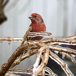 Finch on an Icy Perch