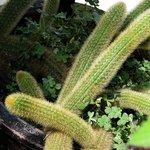 Finger Cacti