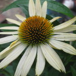 Finished Product Echinacea