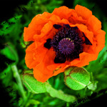 First Poppy 2008
