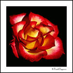 """Flaming Rose"""