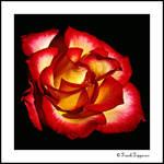 """""""Flaming Rose"""""""