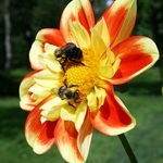 Flat Faced Dahlia With Bees