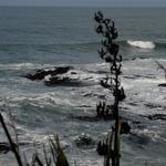 Flax Bush And Sea