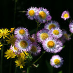 Fleabane and Hawkweed