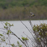 Flight of the Yellow Rumped Warbler