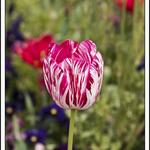 Floriade Tulip 2009