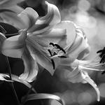 Flower Garden - B&W