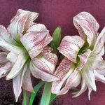 Flower Rendering