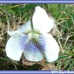 Violet wild