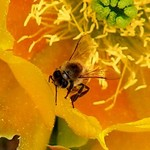 Bee on Cactus Flower1