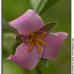 Catesby&#39;s Trillium