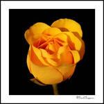 New Rose #2