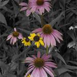 Tenessee Cone Flowers