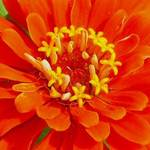 Zinnia Stars