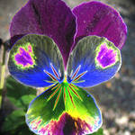 Pansy With a Difference