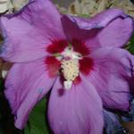 Rose of Sharon purple