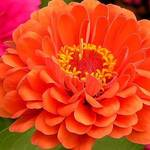 Zinnia Glowing