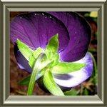 violet portrait form behind