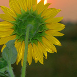 """Sun"" flower"